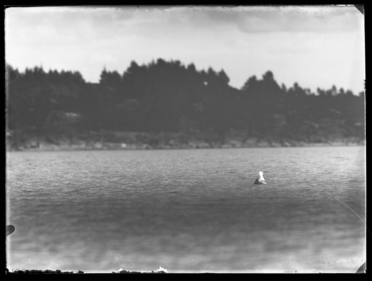 En mås simmar i en sjö. I bakgrunden syns klippor.