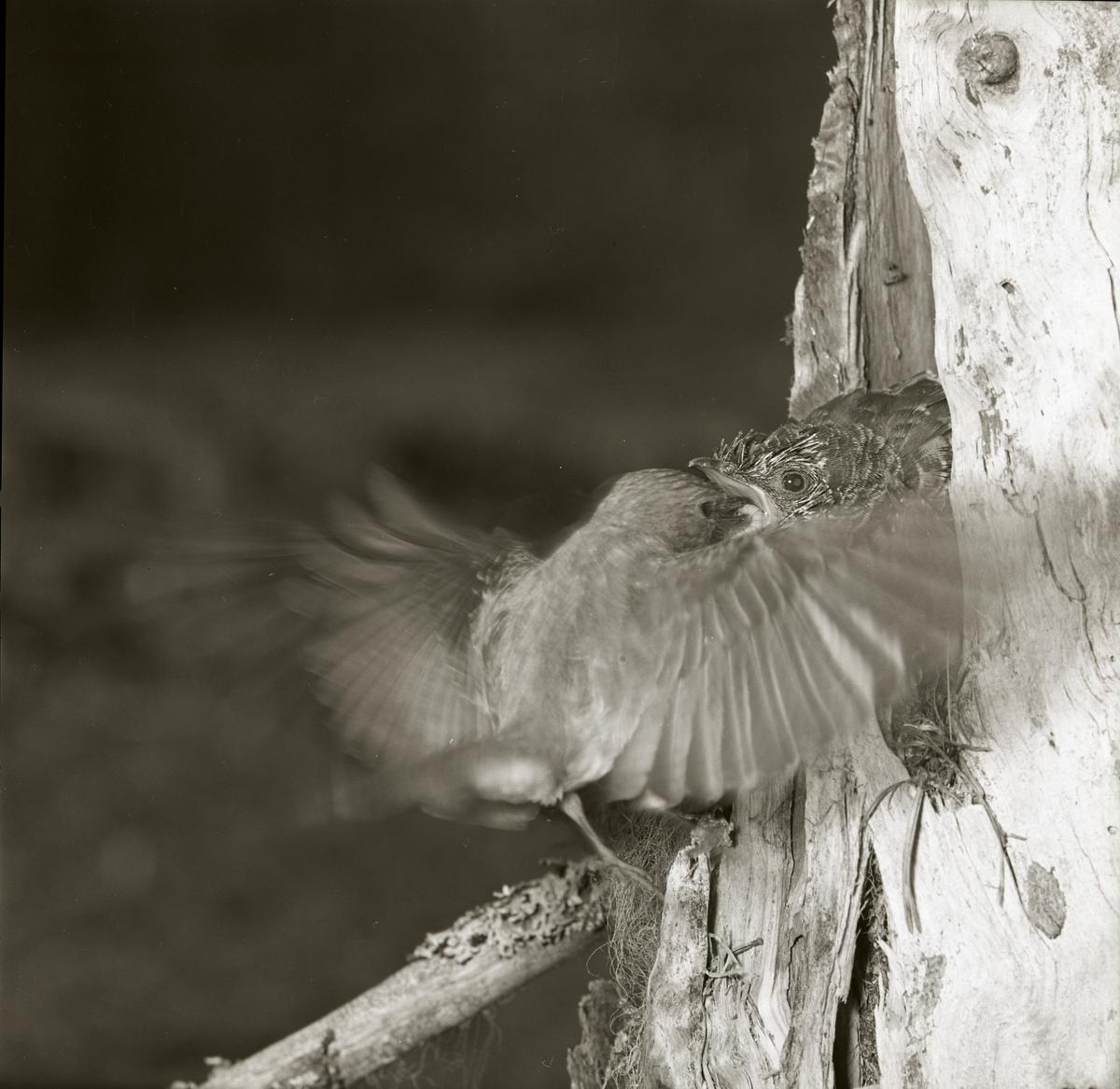 En gökunge ligger i ett bo och blir matad av en fågel som brett ut vingarna till fullo utanför boet, 1961.