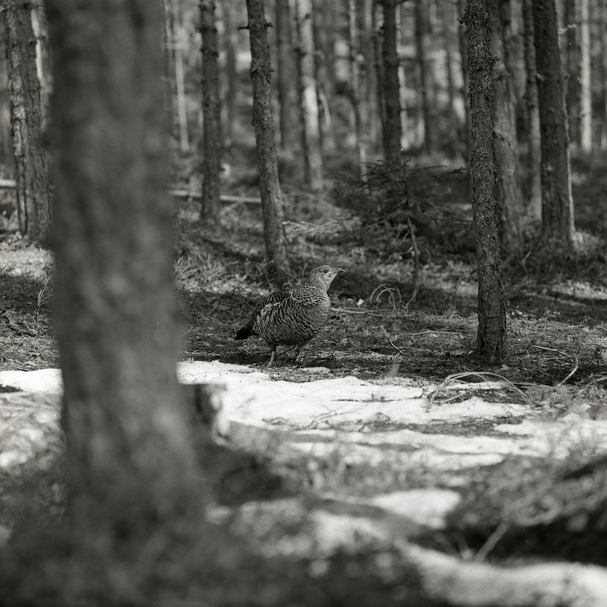 En tjäderhöna i gles tallskog i Nordanhöle den 25 april 1960.