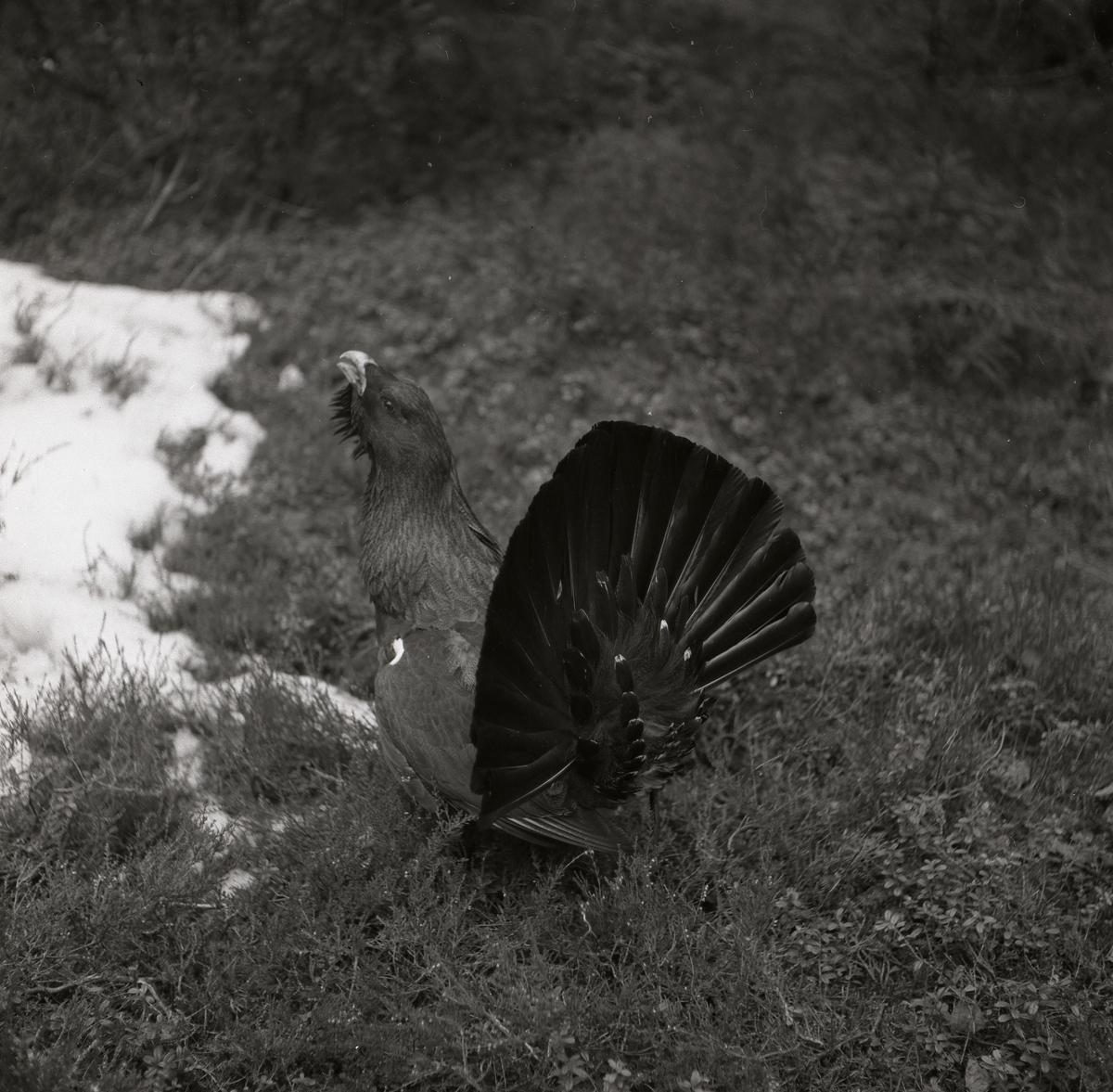 En tjäder står på marken bredvid lite snö 18 april 1954.
