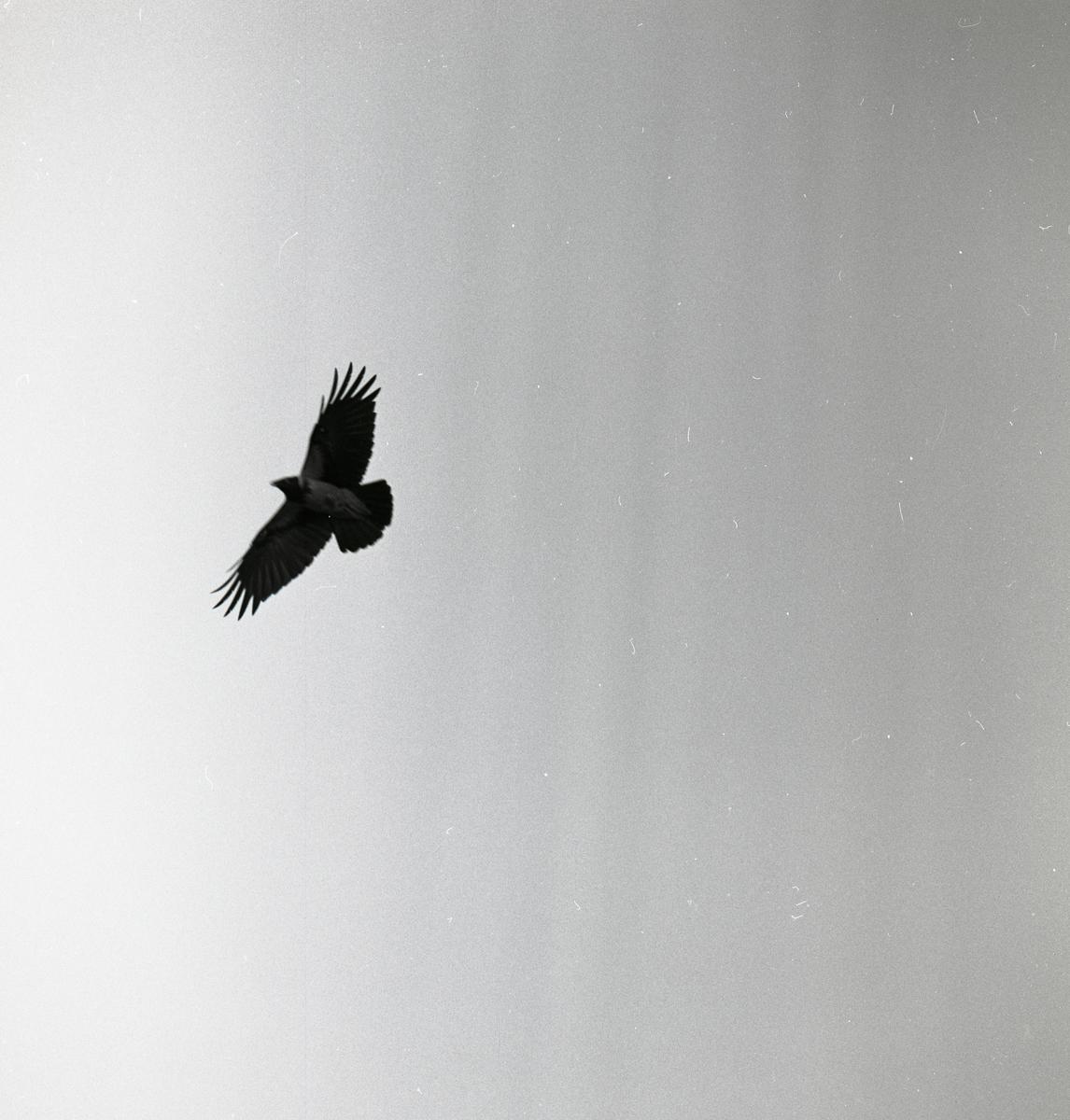 En kråka breder ut sina vingar när den flyger över fotografen.