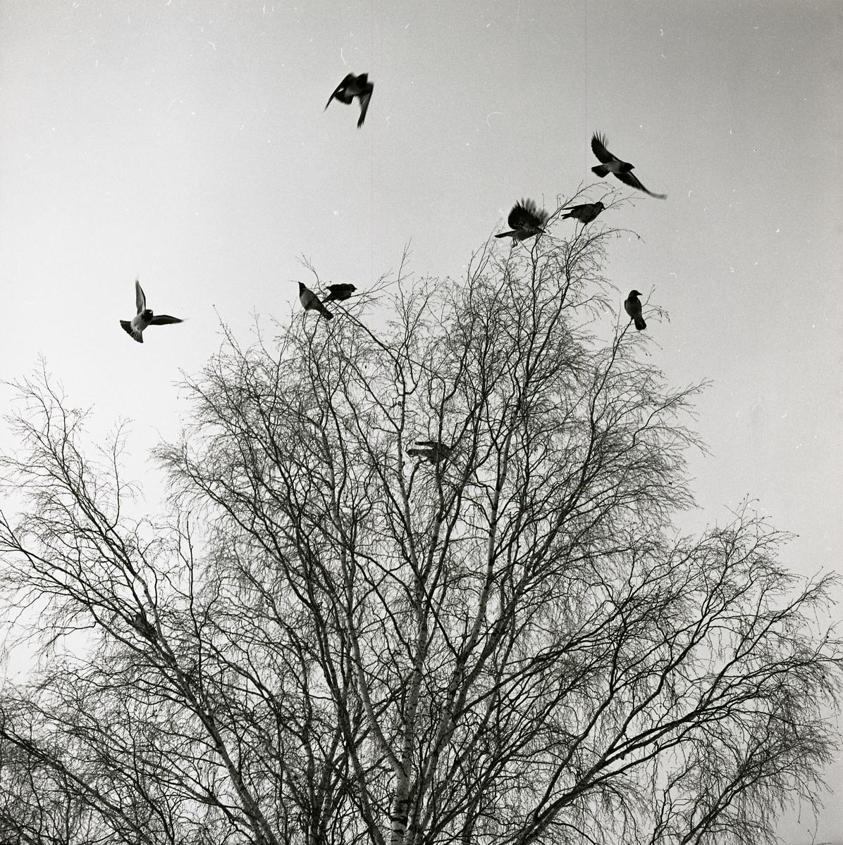 Ett flertal kråkor flyger från en björk i Flästa den 11 februari 1970.