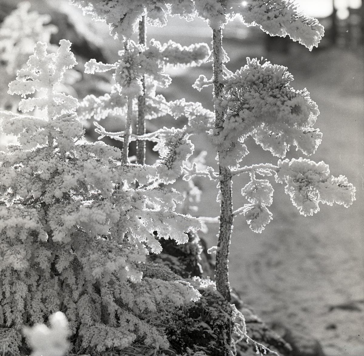 Små tallar med rimfrost, 27 oktober 1956.