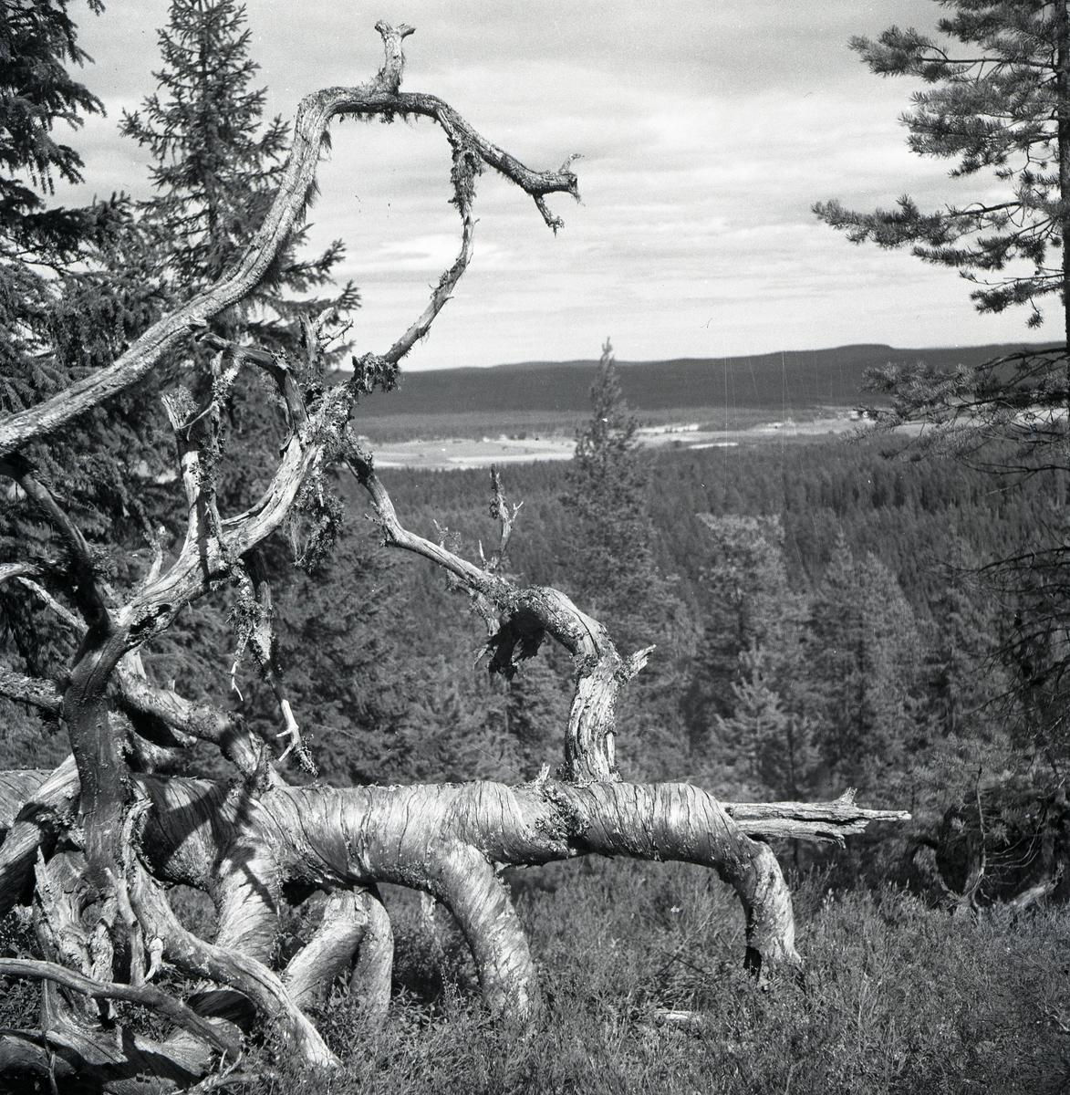 Ett nedfallet, dött träd med krokiga grenar, 1947.