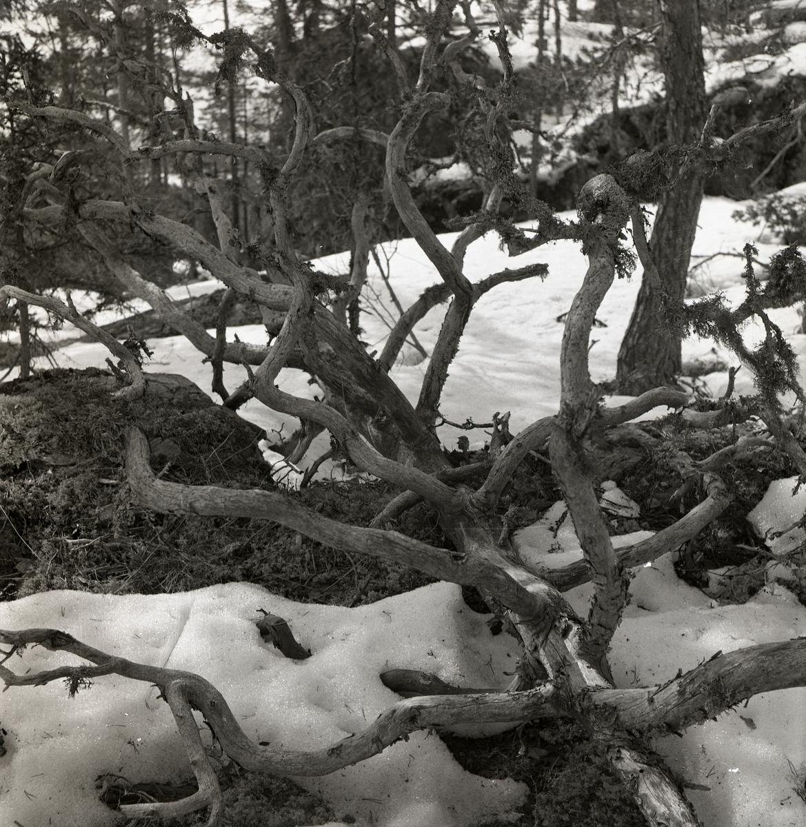 Ett dött och nedfallet träd med krokiga grenar på Hagberget, april 1951.