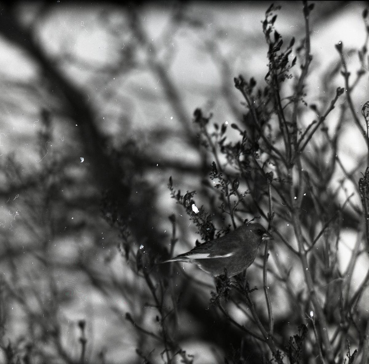 En grönfink sitter i en syrenbuske, 1956.