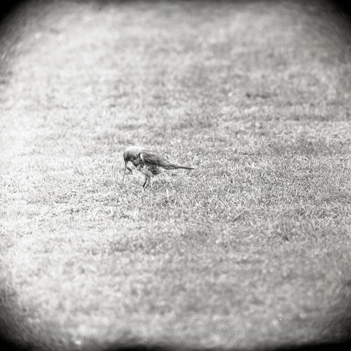 En björktrast drar upp mask ur gräsmattan, 1961.