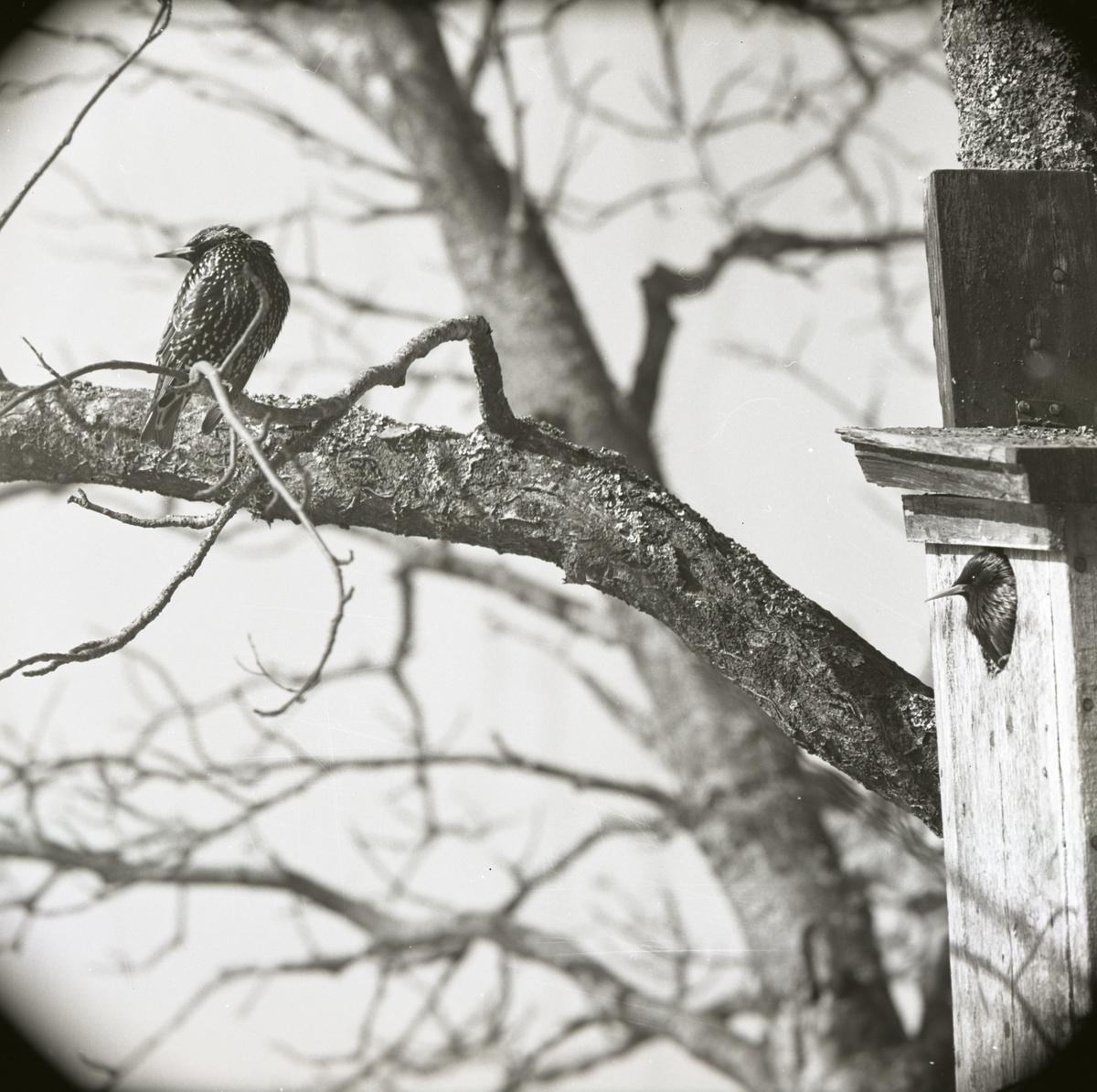 Ett starpar sitter i och utanför en fågelholk, våren 1969.