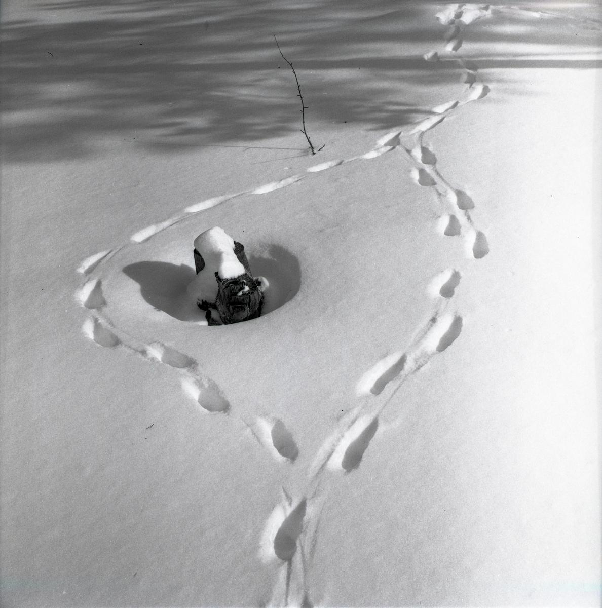 Rävspår runt en stubbe i snön vid Särna, april 1963.