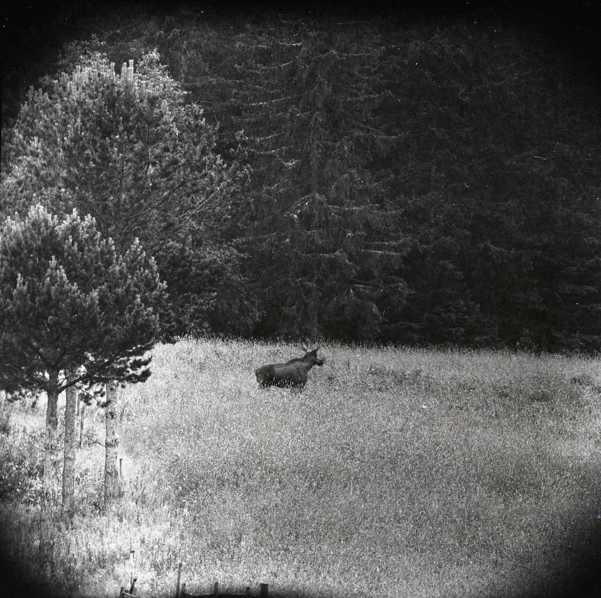 En älg intill ett skogsbryn vid Hägnaden, juni 1959.