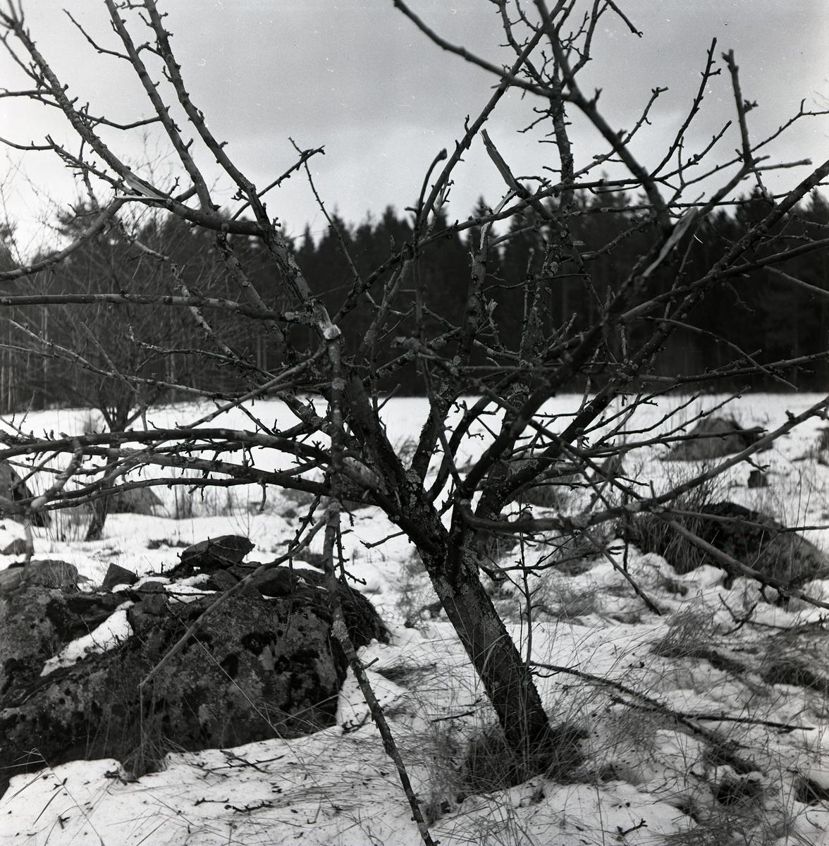 Ett äppelträd med avbrutna grenar i Myra, 1952.
