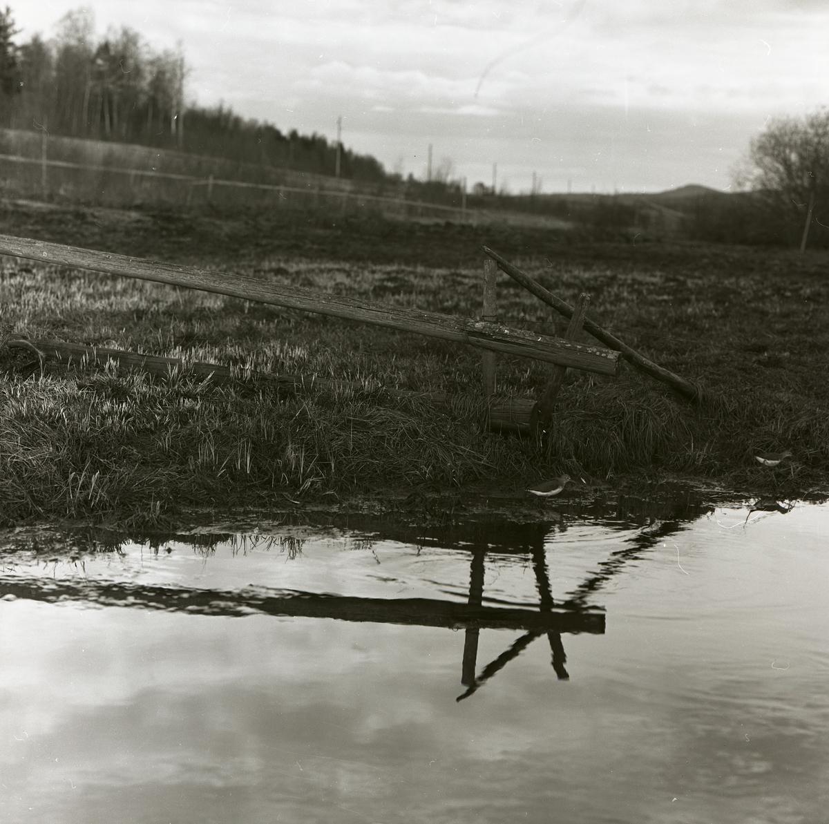 Två drillsnäppor står i vattnet nedanför en stolpe, maj 1963.
