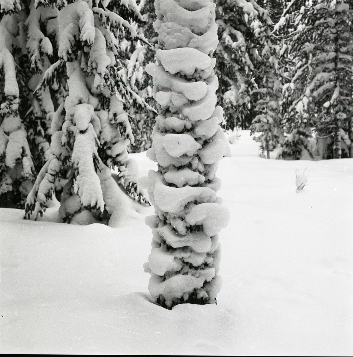 Granskog i snö. Vid Hölesjön, troligen 17 april 1979.