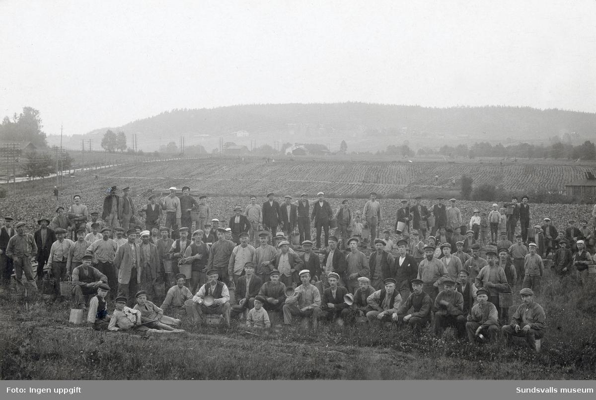Rotsaksodlingar i Skönvik, nödåret 1917.
