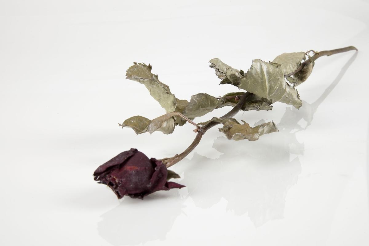 Rose innsamlet etter terrorhandlingen 22. juli 2011 fra minnesmarkeringene i Lillestrøm.   Enkel rød rose med godt bevart bladverk. Stilken er uten torner. Fargen har nok vært klassisk sterk rød, men er mørknet. Bladene er nå grønne og sølvgrå.