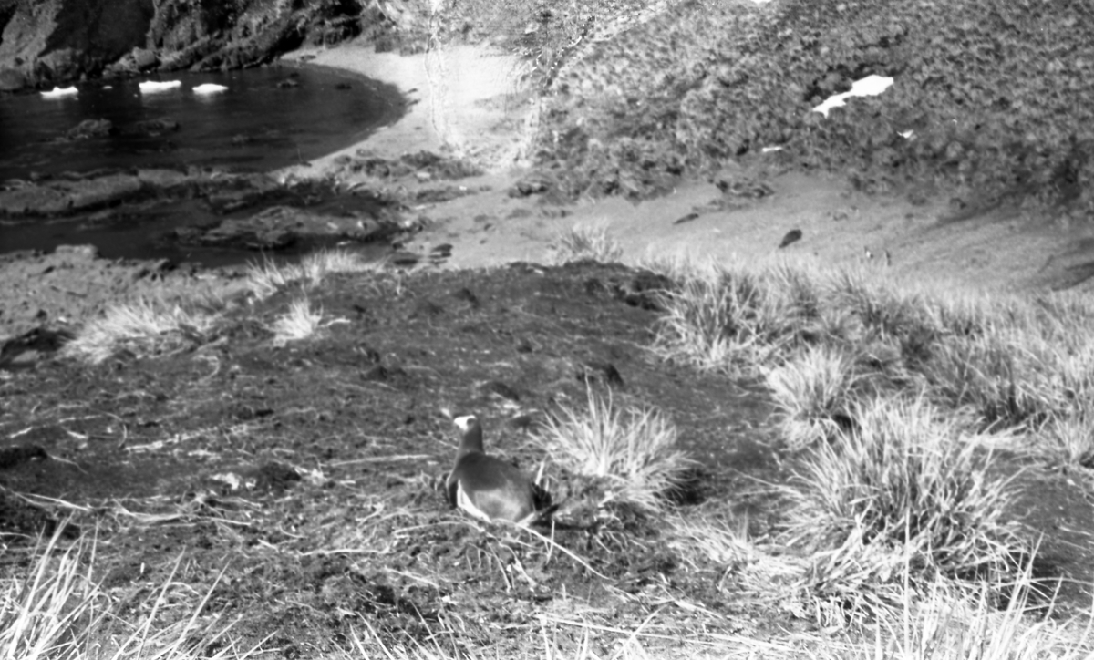 Landskap. Pingviner på reir. Suderøy på vei til fangstfeltet.