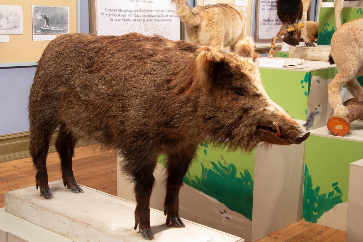 """Vänersborgs museum. Utställningen """"I björnjägare Lloyds fotspår - Jägaren och zoologen""""."""