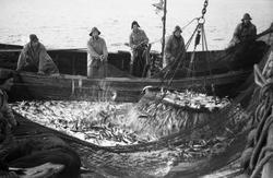Serie på 41 bilder fra et fiskefelt, trolig sildefiske med n