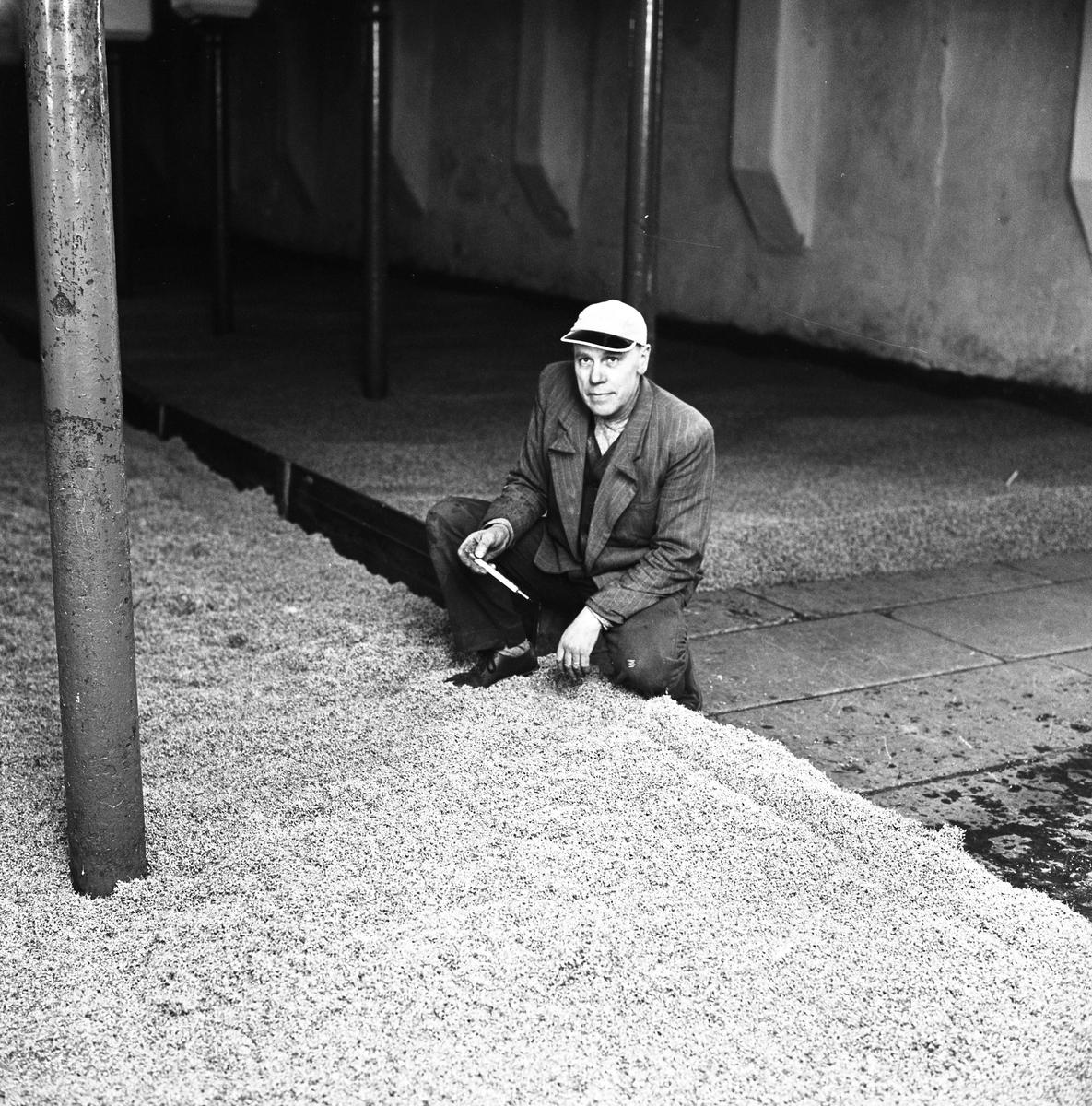 Arboga Kvarn och Maltfabrik, interiörbild från maltkällaren. En man sitter på huk vid mältan (=korn som legat i blöt i tre dygn och nu tappats ut på golvet). Han har en termometer i handen. Temperaturen är känslig, det ska helst vara mellan +8 - +10 grader. Blir det varmare kommer bladgrodden fram och så långt får inte groningsprocessen gå.  Det som kom att bli Arboga Kvarn och Maltfabrik anlades 1821 av Jonas Örström. Kvarnrörelsen startade 1915 och upphörde 1967. Vetemjöl av märket Guldsnö framställdes här. Maltproduktionen upphörde 1972.  Läs om Arboga Kvarn och Maltfabrik: Hembygdsföreningen Arboga Minnes årsböcker från 1979 och 1999 Reinhold Carlssons bok Arboga Objektivt sett
