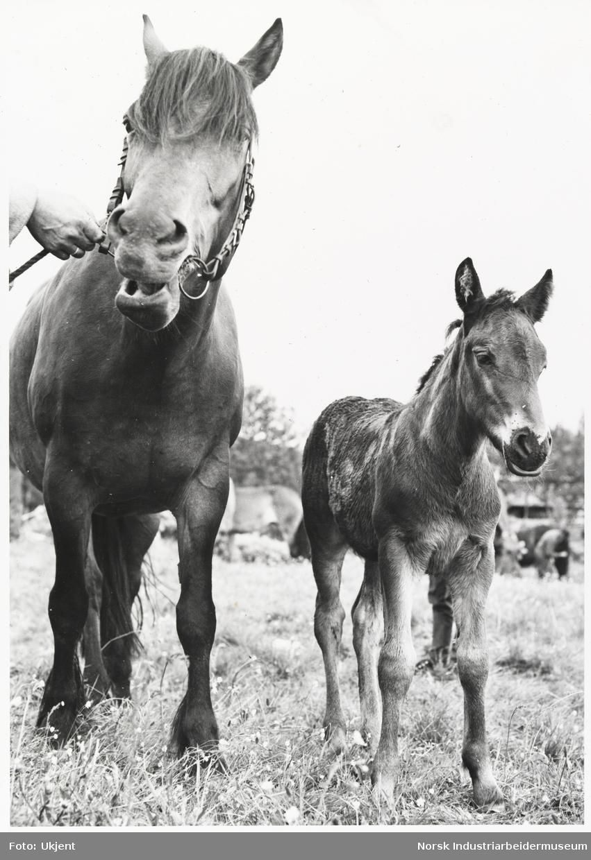 Hest med hodelag og føll