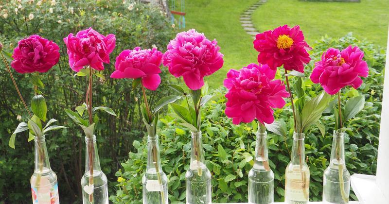 Bildet over viser variasjonen i blomsterform hos 'Agida', fra tettfylt til halvfylt. Foto: MiA.