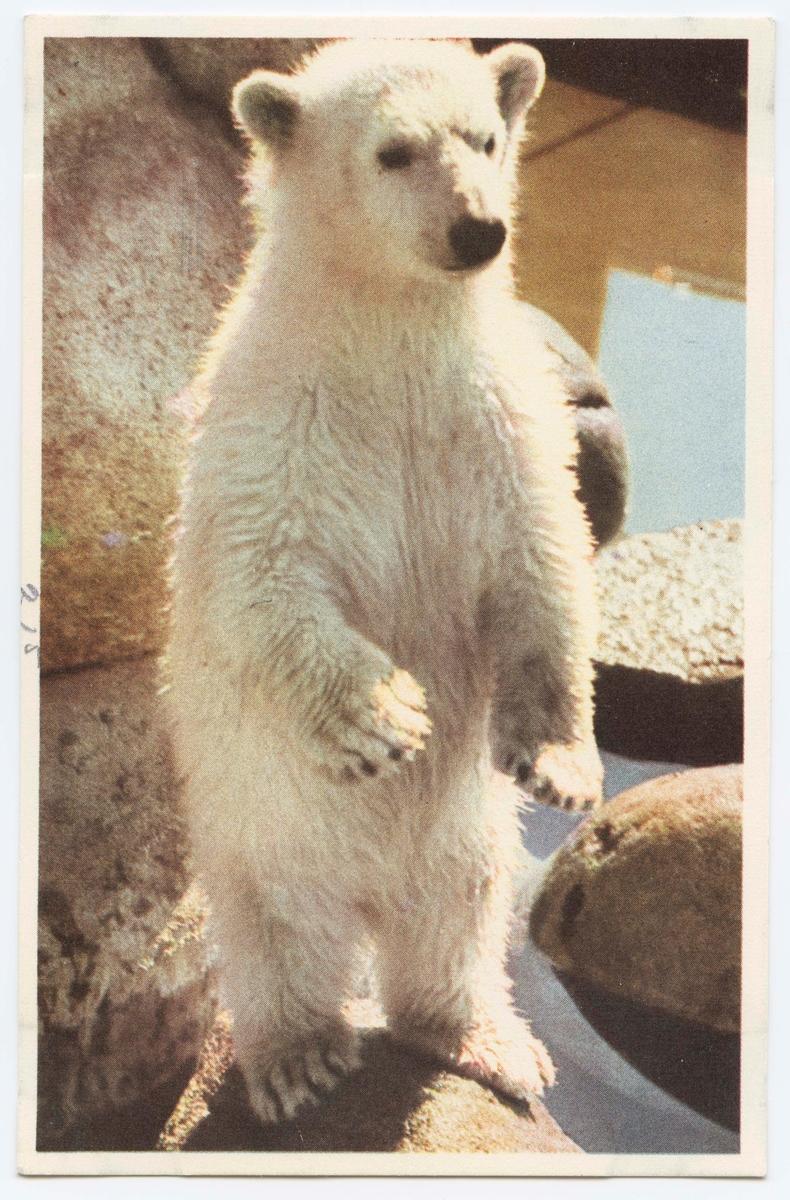 Vykort med motiv från Skansen. Isbjörnsunge.