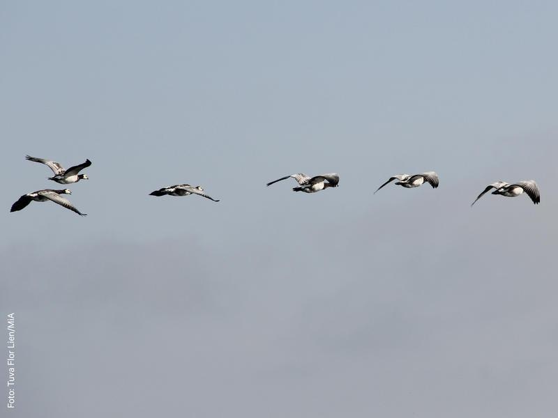 Foto av en flokk med grågås (Foto/Photo)