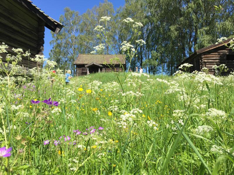 Hvamshaugen_blomstring_juni (Foto/Photo)