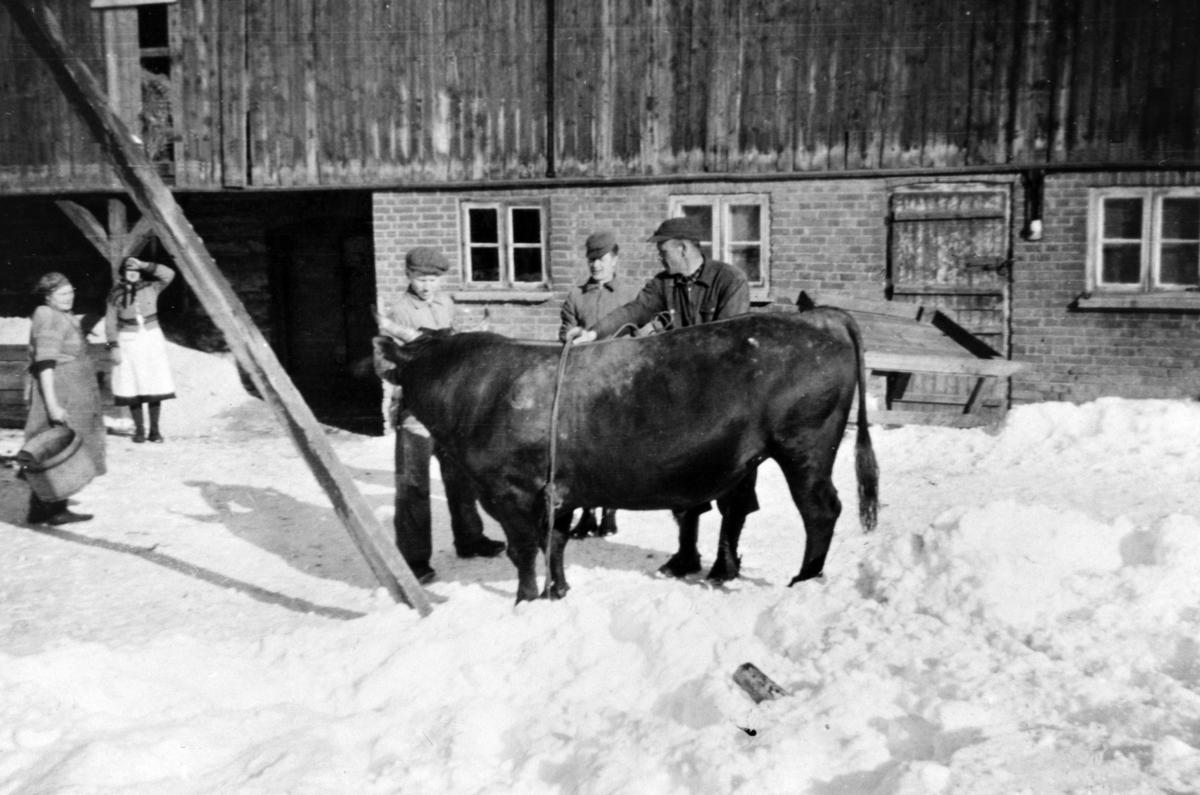 Slakting av okse, nautslakting på Amb vestre, Ringsaker. Fra venstre er Hanna Karstensen med blodbutten, bak er Oline Amb, Even Mathiassen, Hans Østby, Per Kvarberg.
