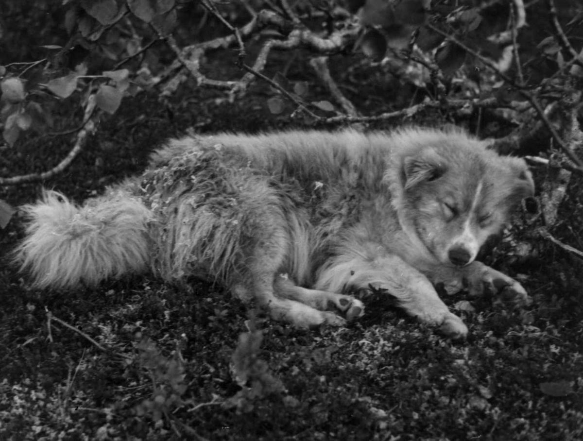 Hund tilhørende Kautokeinosamer, familien Eira har nettopp satt opp telt i nærheten. Finnmarksvidda 1956.
