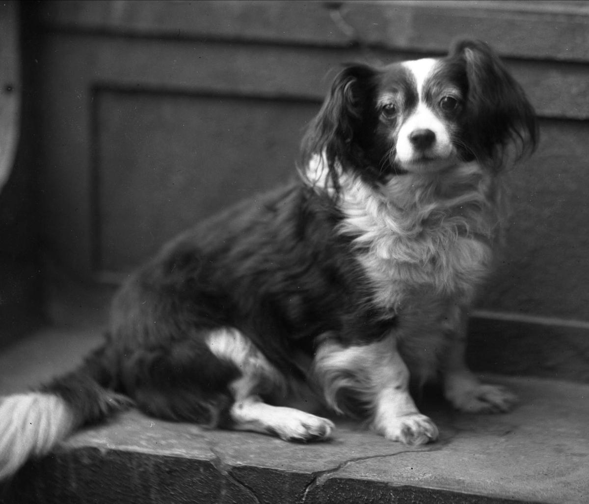 Portrett, en liten hund. Kjøpmann Kristian Hansens hund.