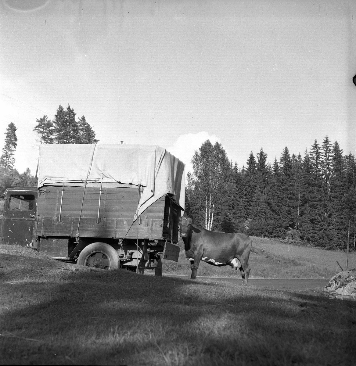 Sinsen, Oslo, juli 1954. Lastebil og ku.
