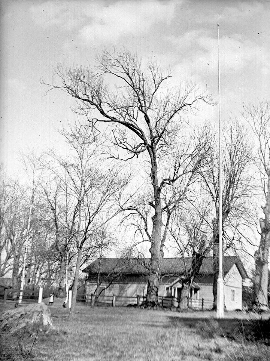 Ask vid Linnés Sävja, Sävja, Uppsala april 1933