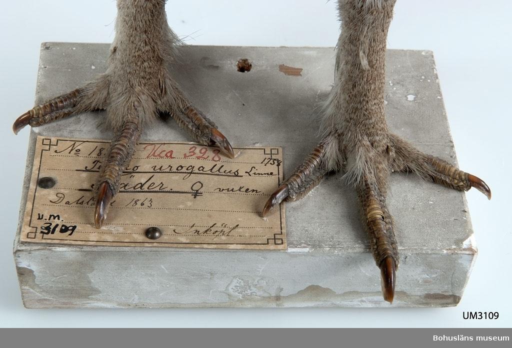 Gammal hona. Dalsland 1863. Inköpt.  Ur handskrivna katalogen 1957-1958: Tjäder Stjärten bruten, eljest hel. Dalsland. 11  Lappkatalog: