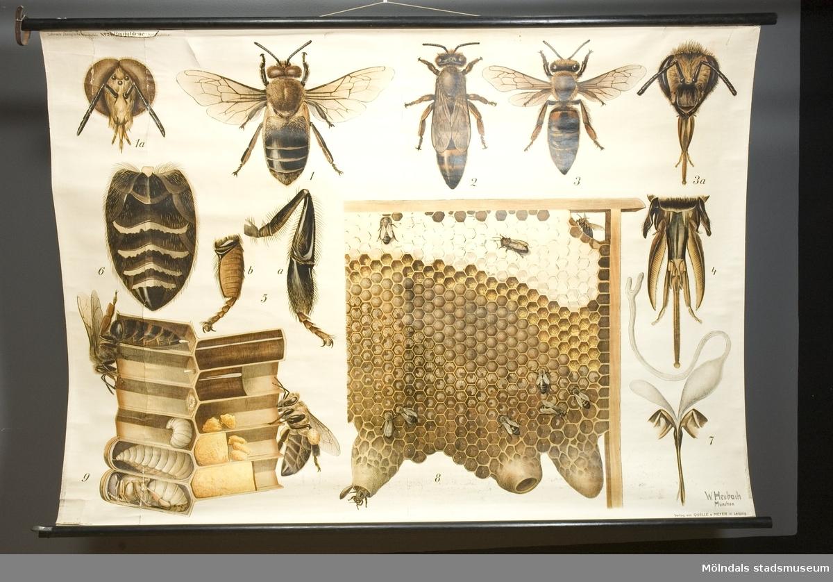Biologi.Honungsbiet - rullplansch.