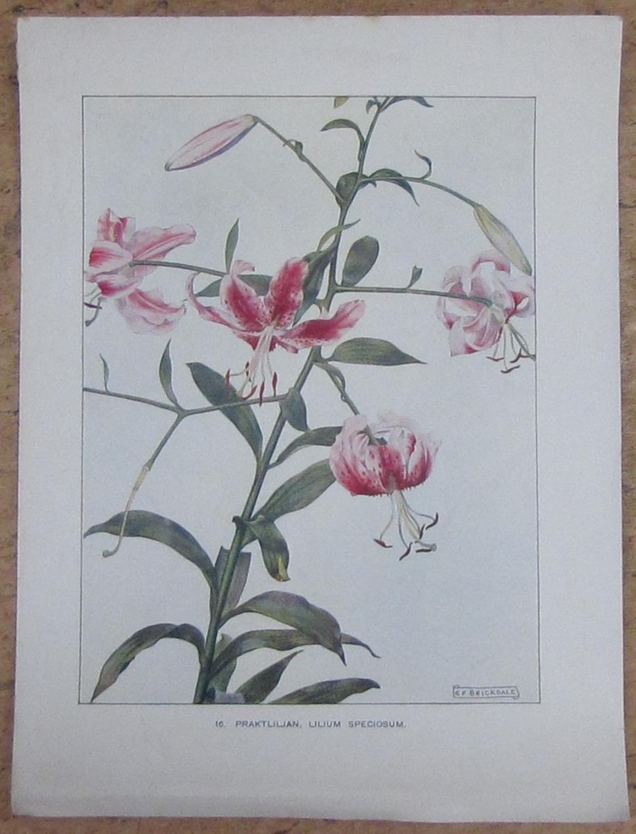 Praktliljan, Lilium Speciosum