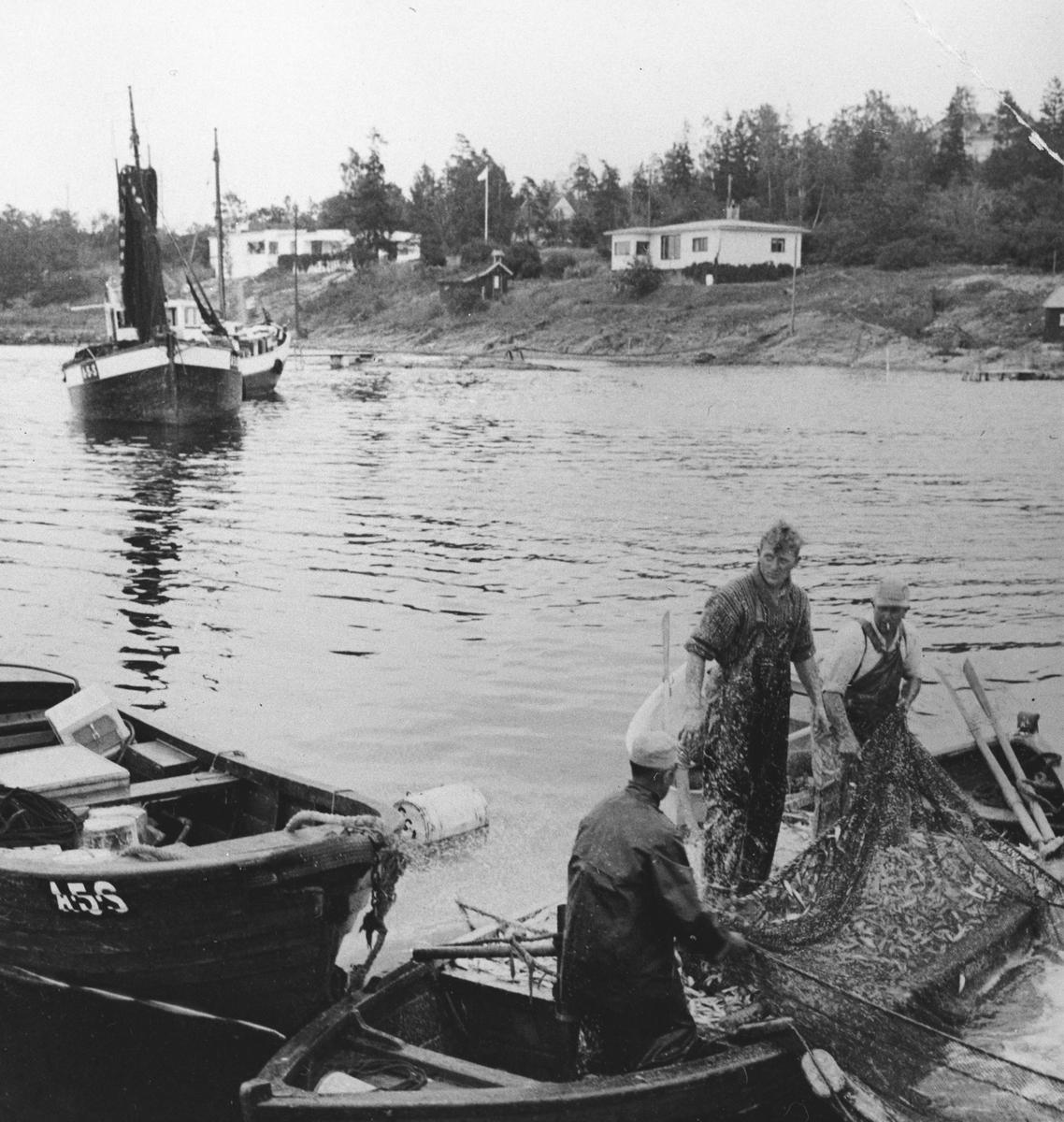 """Tre menn i båt med fisk i garnet. Bildet viser opptak av brisling fra steng. Fra venstre Fredrik Fredriksen, Roald Halvorsen og Norbom Fredriken. fiskerne tilhører skøyta """"Solrunn"""" som ligger i bakgrunnen, doryen til venstre har samme registreringsnummer som skøyta."""