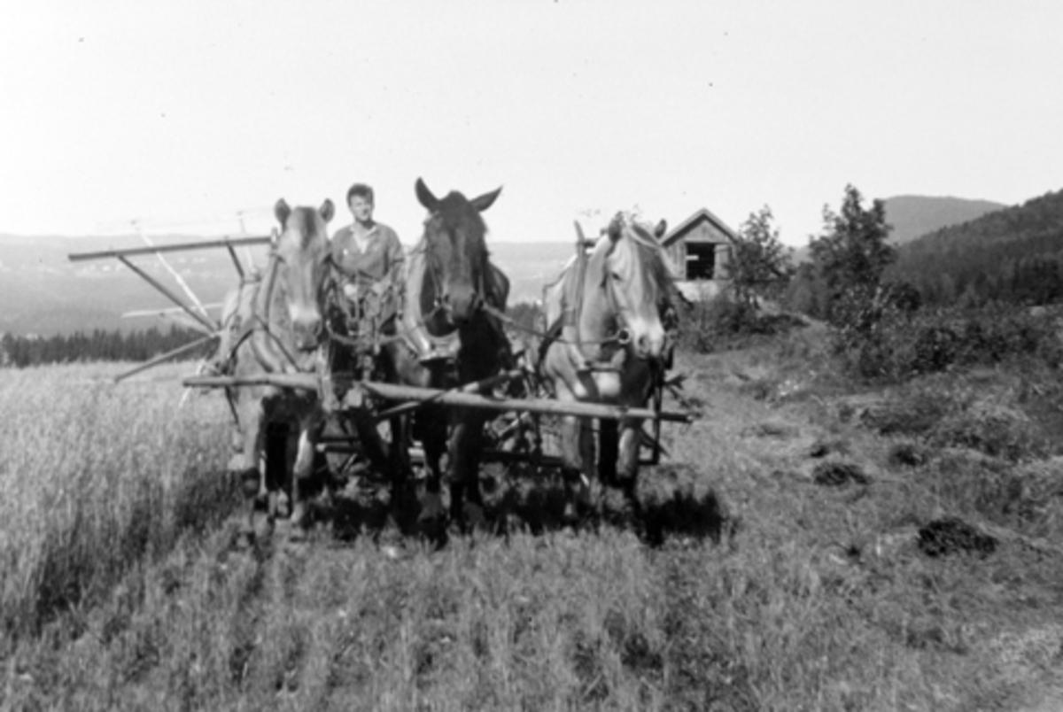 Skuronn på Mørkved store, Furnes, Ringsaker. Hester i trespann med selvbinder på enga i 1927. Kjørekar er Peter Skyberg. Hesteredskap.