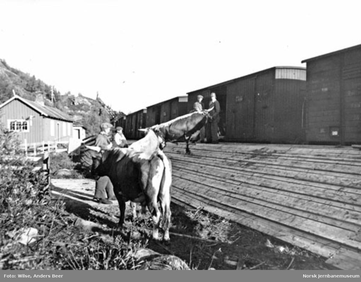 Dyretransport fra Haugastøl; opplasting