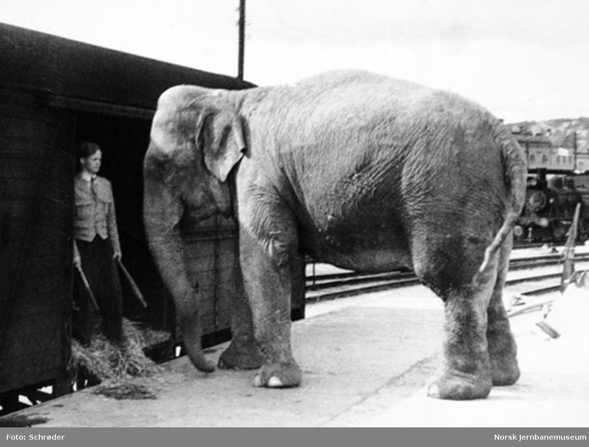 Elefanttransport i godsvogn